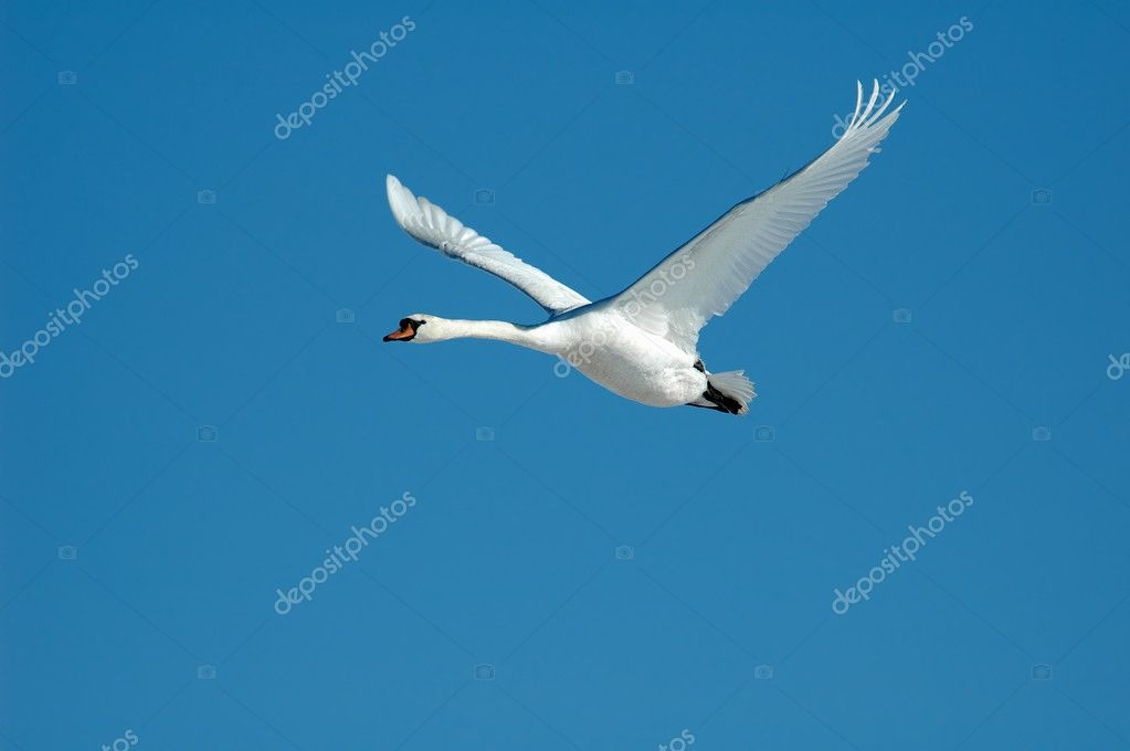 A flying swan on an blue sky  Stock Photo #2809190