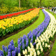Stock Photo: Red and yellow tulips and hyacinths