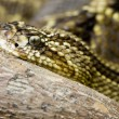 Close-up rattlesnake — Stock Photo