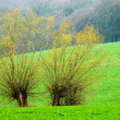 Two willow trees — Stock Photo