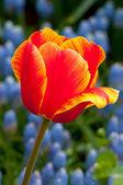 Immagine di macro di un tulipano — Foto Stock