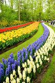Röda och gula tulpaner och hyacinter — Stockfoto