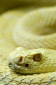 Albino snake — Stock Photo