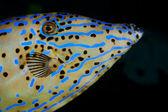 Blauwe zee-vis — Stockfoto