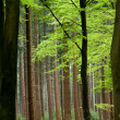 Beech trees - Foto Stock