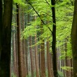 Beech trees - Stockfoto