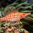 A red stripped fish -  