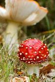 Un fresco funghi maculato — Foto Stock