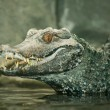 A smiling crocodile - Stock fotografie