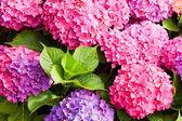 Kwiaty hortensji — Zdjęcie stockowe