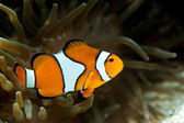Anemonefish between an anemone — Stok fotoğraf