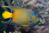 En färgglad kejsaren fisk — Stockfoto