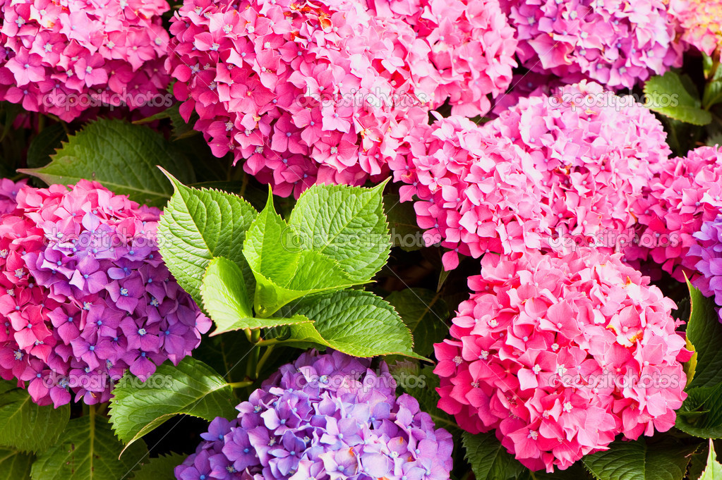 Different colors of hydrangea flowers  — Stock Photo #2899691