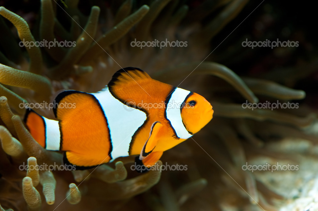 An orange anemonefish between an anemone  Stock Photo #2899764