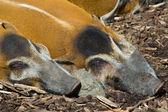 Bushpigs para dormir — Foto de Stock