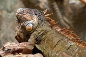 A bearded iguana — Stock Photo