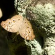 Brown spotted butterfly — Lizenzfreies Foto