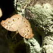 Brown spotted butterfly — ストック写真