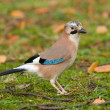Eurasian blue-jay - Stock Photo
