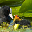 Coot with youngster — Stock Photo
