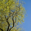 A tree in springtime — Stockfoto
