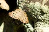 Brown spotted butterfly — Stock Photo