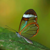 Transparent butterfly — Stock Photo