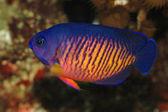 Emperor fish — Stock Photo