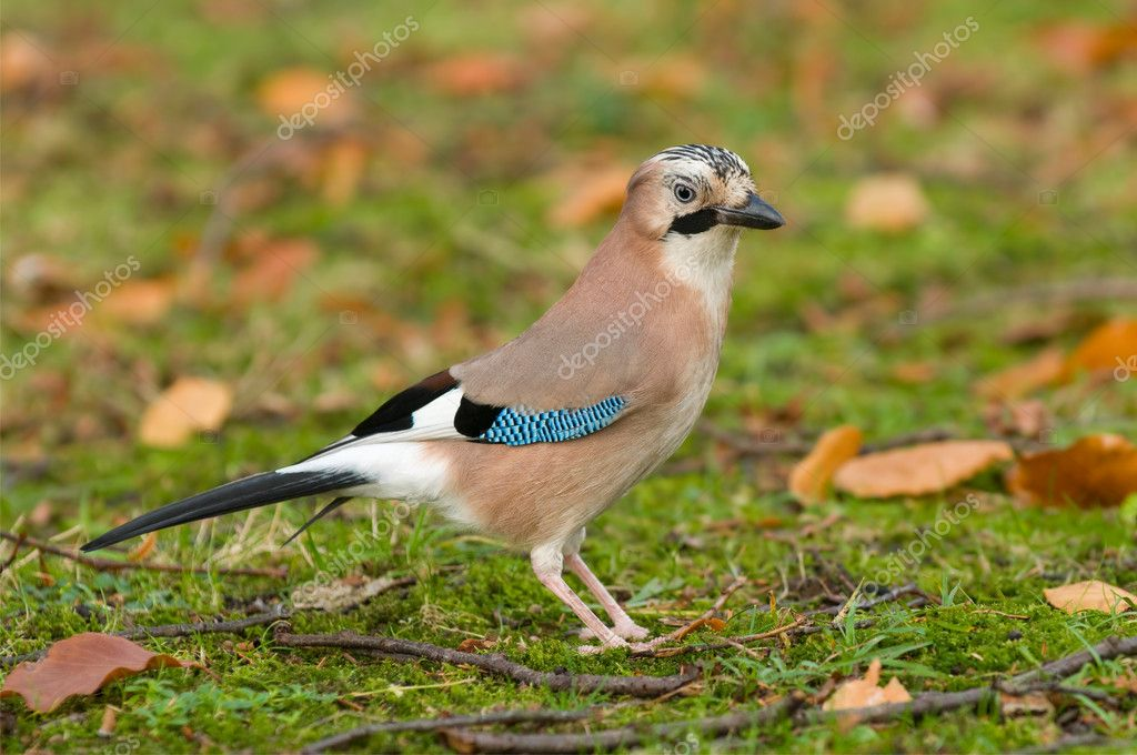 An eurasian blue jay on the grass  — Stock Photo #2970122