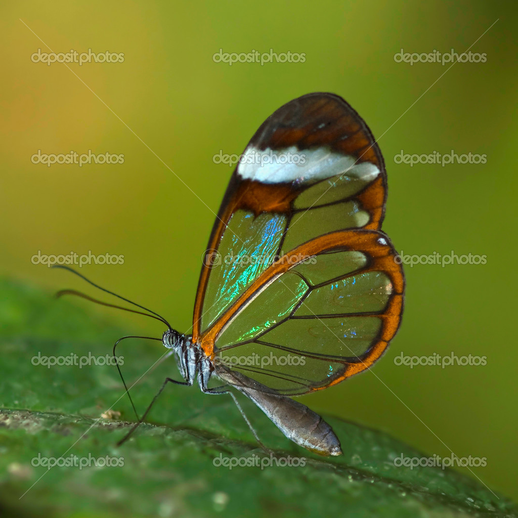 A special transparent butterfly — Stock Photo #2970179