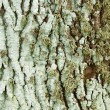 Lichen on a trunk — Foto Stock