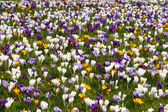 Colorful crocuses — Stock Photo