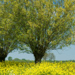 Stock Photo: Willow-trees