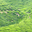 Cameron highlands plantation — Stock Photo
