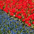 Red tulips and common grape hyacinth — Lizenzfreies Foto