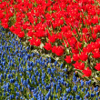 Stock Photo: Red tulips and common grape hyacinth