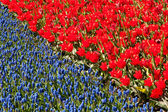 Red tulips and common grape hyacinth — Stock Photo