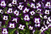 Purple viola tricolor — Stock Photo