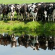 Curious cows reflecting — ストック写真