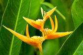 Tropical yellow flowers — Stock Photo