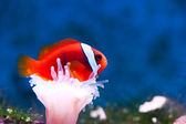 Orange anemonefish — Stock Photo