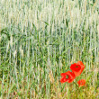 Stock Photo: Cornfield with poppies