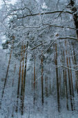 Trees in snow. — Stock Photo