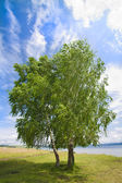 Lonely birch by a bright summer day — Stock Photo