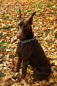 Autumn dog — Stock Photo