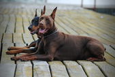 Two beautiful doberman — Stock Photo