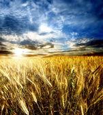 Wheatfiled — Stockfoto