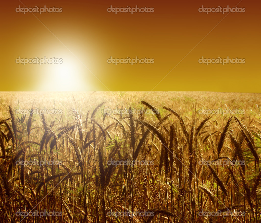 Wheat field at sunset — Stock Photo #3233137
