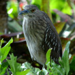 A Night Heron Bird — Foto Stock