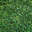 Stock Photo: Abstract Background Texture of Hedge